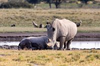 baby of white rhinoceros Botswana, Africa