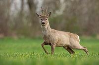 Roe deer, capreolus capreolus, buck in spring walking on a filed,