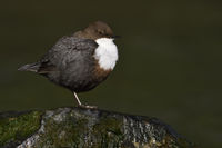 White-throated Dipper * Cinclus cinclus *, resting on a rock