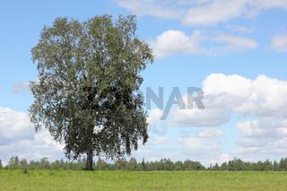 Landschaft mit Birke in Litauen