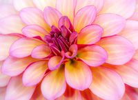Abstact natural flower background with a dahlia blossom