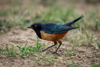 Hildebrandt starling crouching in profile on grass