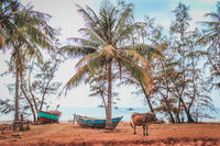 old wooden boats and a cow under palm trees at abandoned beach in Vietnam -