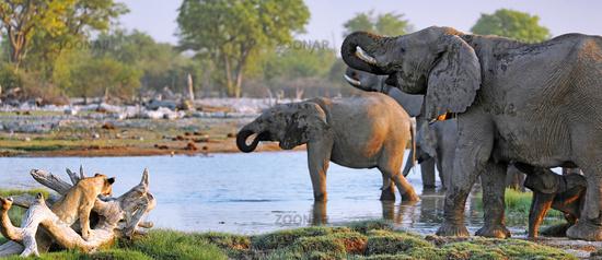 Lion watching elephants, Etosha National Park, Namibia