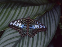 blue scarf butterfly on leaf