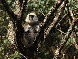 Close up picture of a big grey langur monkey. Photo taken in the Langtang National Park, Nepal.