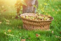 wicker basket full of freshly picked hazelnuts on the meadow.