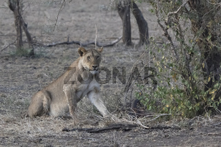 Lioness who sits near a bush on the edge of a shrub savanna near a dead swamp