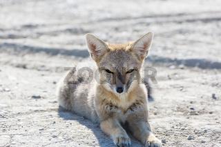 Fox in Patagonia