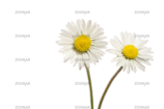 Daisy (Bellis perennis), close-up view