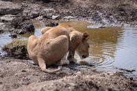 Lioness crouching to drink from rocky stream