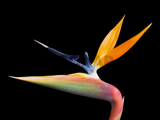 a single vibrant clolorful Strelitzia reginae type of the bird of paradise flower on a black background