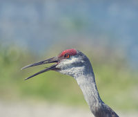 Sandhill Crane head , close up