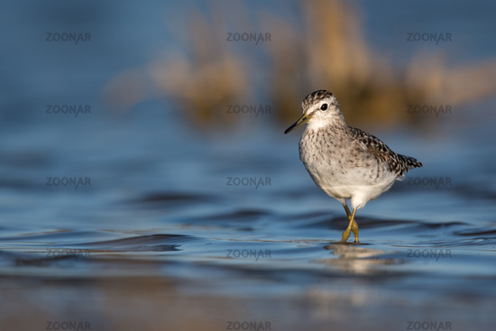 Common greenshank Algarve