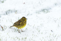 Yellowhammer in the snow looking for food