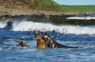 Close-up of Southern elephant seals play - fighting