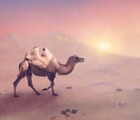 Bactrian camel in desert