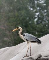 Grey heron Ardea cinerea on roof