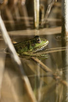 Marsh frog hiding in the reed