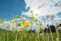 Dandelion Meadow in Spring, Taraxacum officinale, Germany, Europe