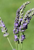 Grosser, Speiklavendel, Lavandula, latifolia