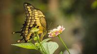 King Swallowtail Butterfly