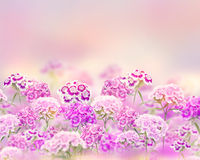 Pink and purple carnation flowers  for  background