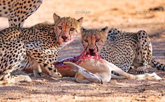 Cheetahs eating a springbok, Kgalagadi Transfrontier National Park, South Africa