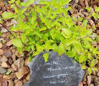 Salbei, Pfirsich-, Salvia greggli, Hot Lips