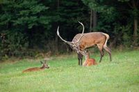 Red deer family in nature close together touching with noses