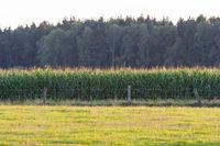Corn field behind a meadow