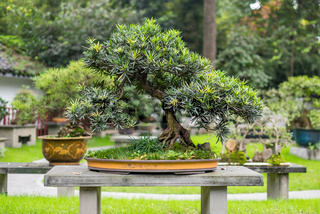 Bonsai tree on a table in a park