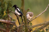 LittLe Owl and magpie