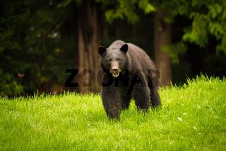 Black bear feeding on fresh green grass on Vancouver Island, British Columbia