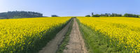 Country road through a yellow canola field
