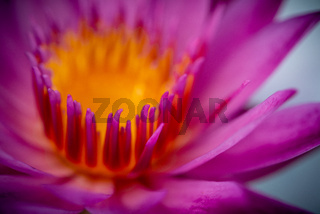 Water lily close up.