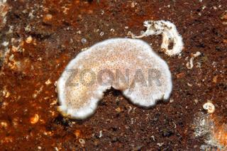 Marine Flatworm, Pseudoceros sp