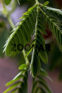Nahaufnahme eines Mimosenblattes