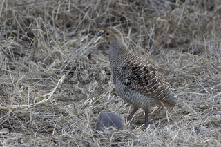 male Grey Francolin standing in the middle of a dry grass at the edge of a winter forest