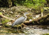 Yorkshire Dales - Heron in Gordale Scar