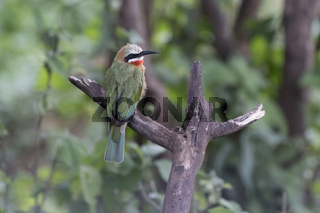 White-fronted Bee-eater sitting on a dry branch of a tree in a small oasis in the savannah