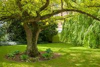 Old Ginkgo tree from 1860 in castle garden of Castle Schwerin in springtime.