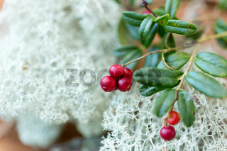 close up of cowberry and reindeer lichen moss