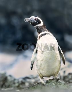 Magellanic penguin covered in foamy ocean water