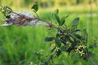 190530-33 Strauch Raupen Pfaffenhütchen Gespinnstmotte Spindle ermine Yponomeuta cagnagella.jpg