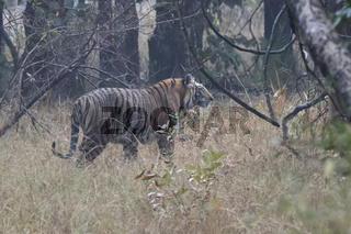 large male of the Bengal tiger who walks on a forest glade on a winter rainy morning