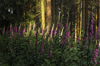 Red Foxglove in the morning light