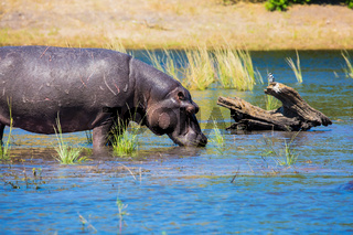 Close hippopotamus