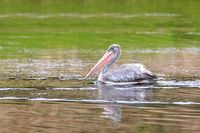 African Pink-backed Pelicans Ethiopia wildlife