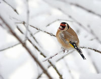 European goldfinch sitting on a snow covered tree branch